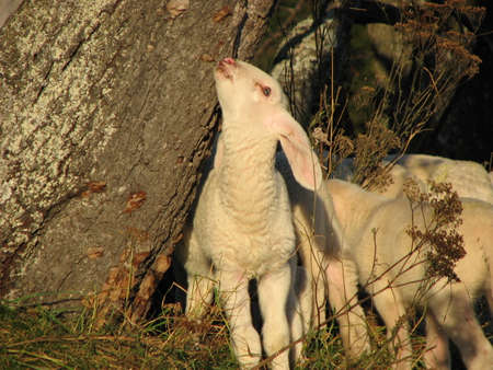 young white lamb in a flock photo