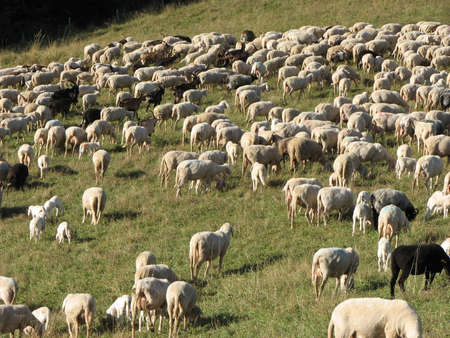 irish easter: flock of sheep lambs and goats grazing  in the mountains in autumn