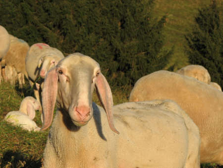 fat white sheep grazing in autumn photo