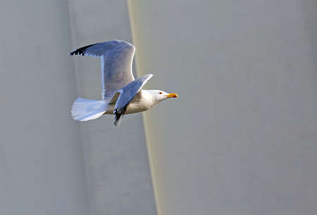 pirouette: evolution of the flight of a Seagull in the sky