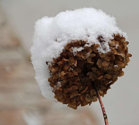 sleet: dry hydrangea flower snow-covered during harsh winter