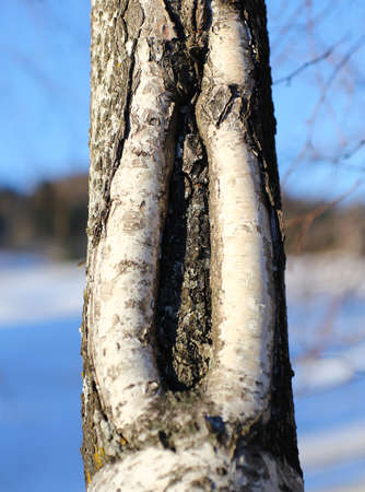 crack in the trunk of the tree resembles a vagina photo