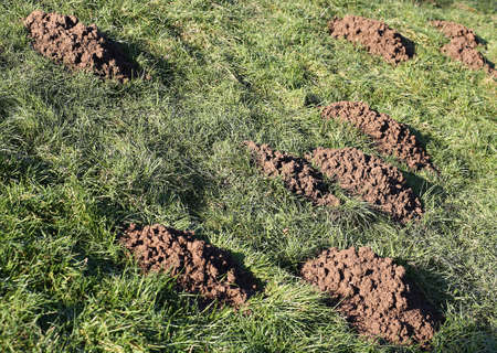 moles: many Molehills caused by moles in green Meadow Stock Photo