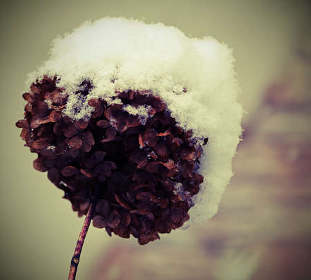 snowcovered: hydrangea flower snow-covered during harsh winter