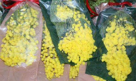 mimose: mimosa fiori gialli per la festa della donna l'8 marzo