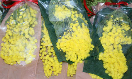 8 march: yellow mimosa flowers for womens day on 8 March