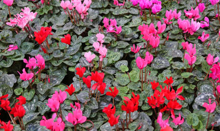 floriculture: many red and pink cyclamen in the garden