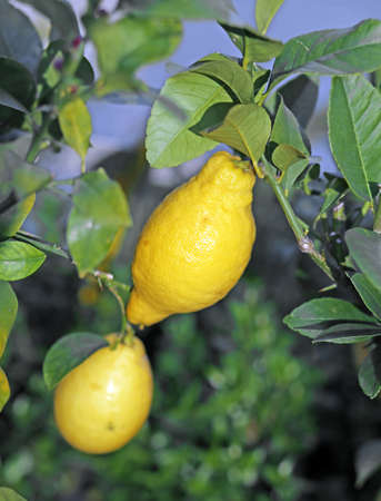 diuretic: two yellow lemon hanging on the tree in the orchard in southern Italy Stock Photo