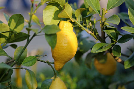 southern europe: lemon hanging on the tree in the orchard in southern Europe