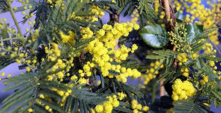 mimose: grande ramo giallo di fiori di mimosa Marzo Archivio Fotografico