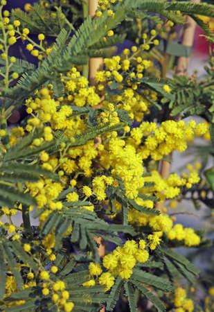 mimose: enorme ramo giallo di fiori di mimosa Marzo