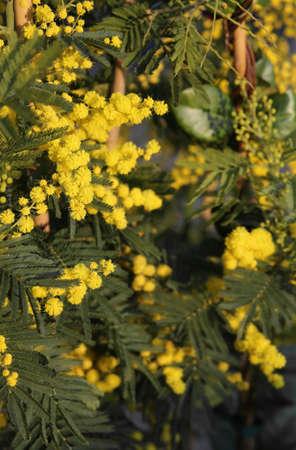 mimose: Ramo giallo di fiori di mimosa Marzo Archivio Fotografico