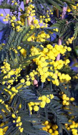 grande ramo di mimosa fiori marzo
