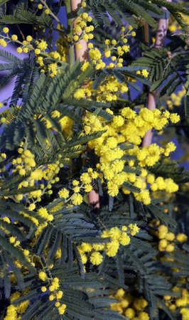 donna: Yellow branch of mimosa flowers in March Stock Photo