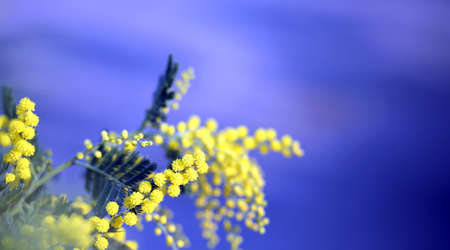 branch of mimosa flowers yellow in March and the blue sky in background Stock Photo