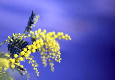 mimose: ramo di mimosa fiori gialli a marzo e il cielo blu sullo sfondo