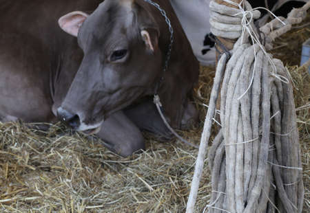 cattle wire wires: big cow in the barn with the rope to take the Lasso cattle Stock Photo