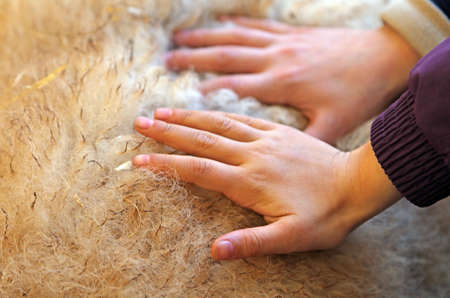 hands of children feel the softness of wool of the sheep in the farm Banco de Imagens - 37148181