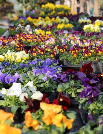 violets: pots of Primroses and VIOLETS for sale in florist in spring