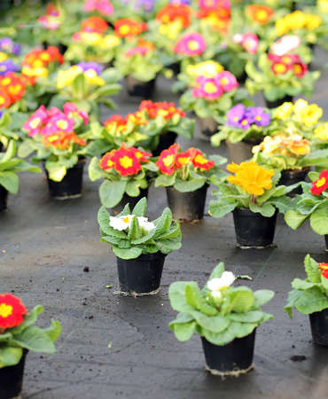 grower: pots of Primroses and violets for sale in the greenhouse in spring Stock Photo