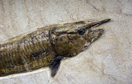 prehistoric fish: detail of ancient Mesozoic age fossil fish trapped in the rock