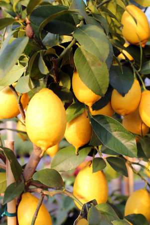 biologic: Yellow ripe lemons in the tree of the Orchard Stock Photo