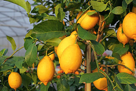 Yellow ripe lemons in the tree of the Orchard of the Mediterranean country Stock Photo