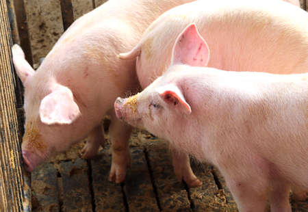 sty: three young pink pigs in the sty of the farm
