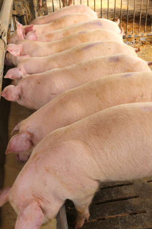 breeder: row of young pink pigs in the sty animal breeder