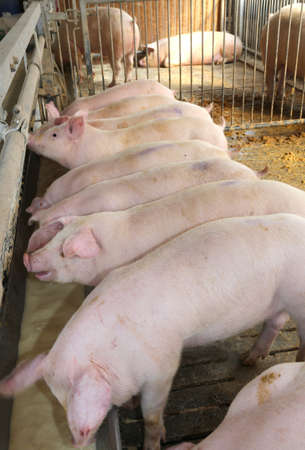 breeder: young Pink pigs in the sty of the farm animal breeder