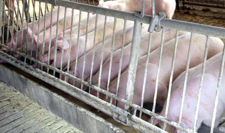 breeder: many Pink pigs in the sty of the farm animal breeder