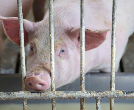 pig: Pink pigs snout in the pigsty of the farm animal breeders lung