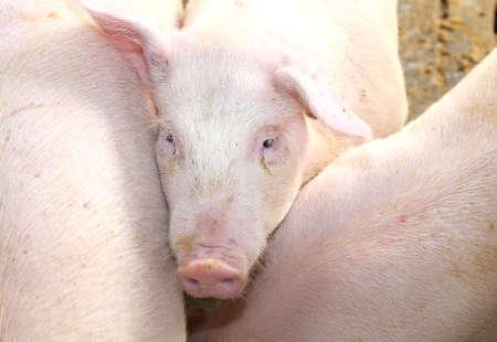 m�lancolie: air m�lancolique du cochon rose dans la porcherie de la ferme