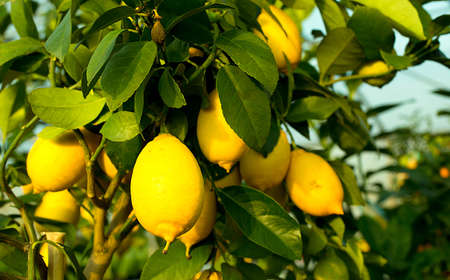 Yellow ripe lemons in the tree with green leaves