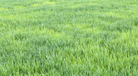 immense: immense green wheat field with still small seedlings in spring Stock Photo