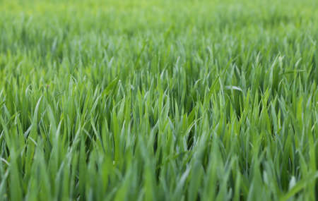 immense: immense green wheat field with still small seedlings