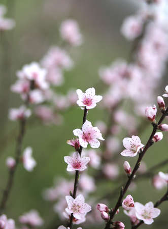 delicate: delicate and little pink peach flowers