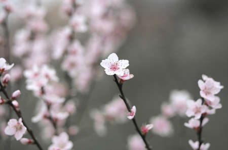 Delicate and nice pink flowers of the peach tree stock photo delicate and nice pink flowers of the peach tree stock photo 38576299 mightylinksfo
