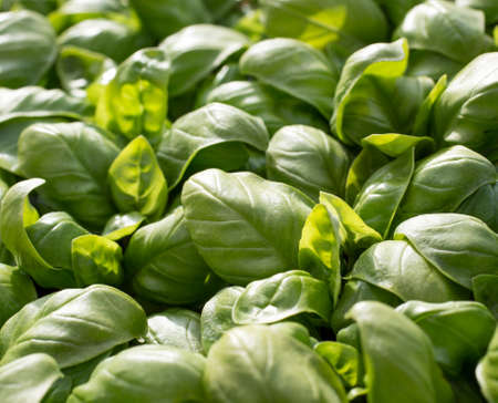 close together: large green aromatic Mediterranean basil leaves all close together