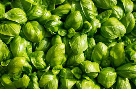 aromatický: velké zelené aromatické středomořské listy bazalky všichni blízko sebe Reklamní fotografie