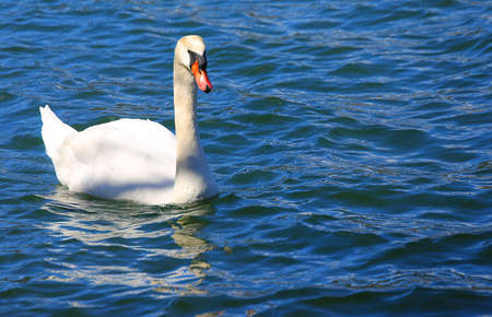 clear water: beautiful White Swan swimming in the clear water of the pond Stock Photo