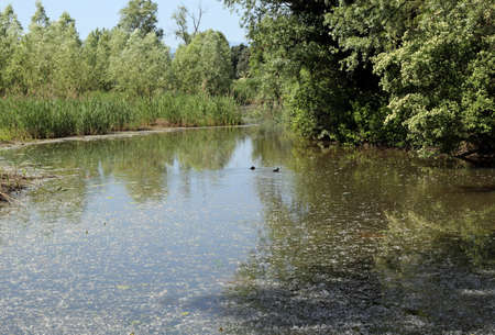 pollens: pond with a lot of pollens of trees on the surface of the water and two duck Stock Photo