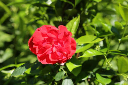 thea: one red rose just blossomed in may