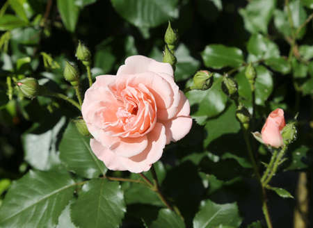 thea: isolated pink rose just blossomed in may