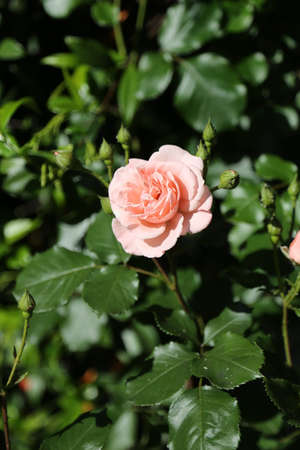 thea: isolated light pink rose just blossomed in may