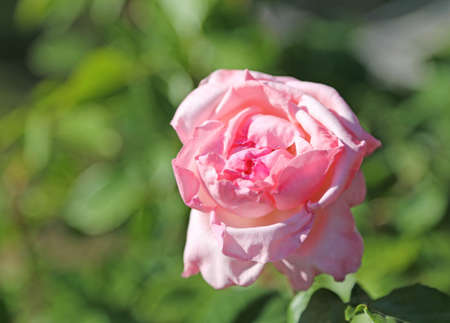thea: single pink rose just blossomed in may Stock Photo