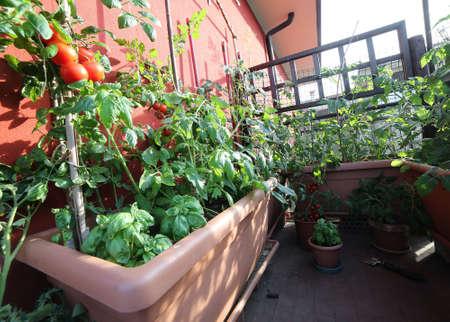 Planta De Tomate Rojo Y Las Plantas Verdes En La Maceta En El Balcn