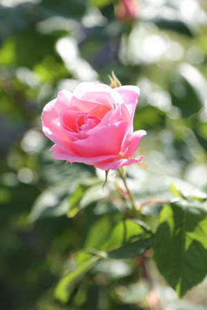 thea: delicate pink rose just blossomed in may