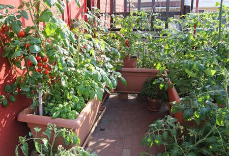Garden Terrace balcony with tomato plants Stock Photo
