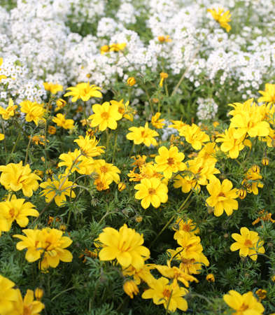 tickseed: large field of yellow flowers called Bidens in spring Stock Photo